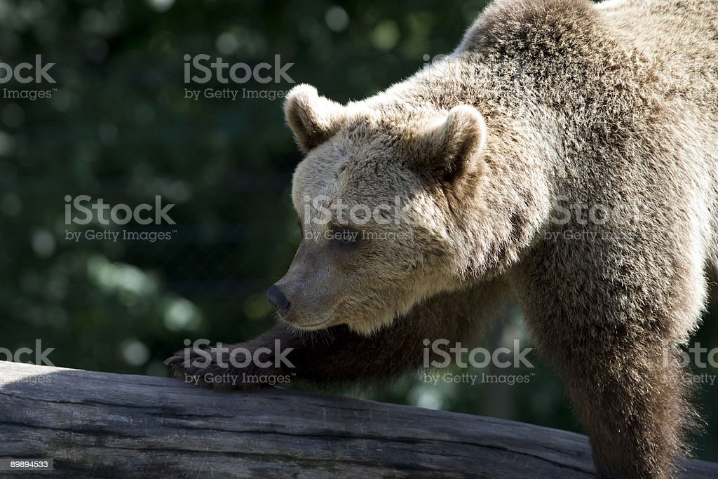 Brown bear (Ursus arctos) royalty-free stock photo