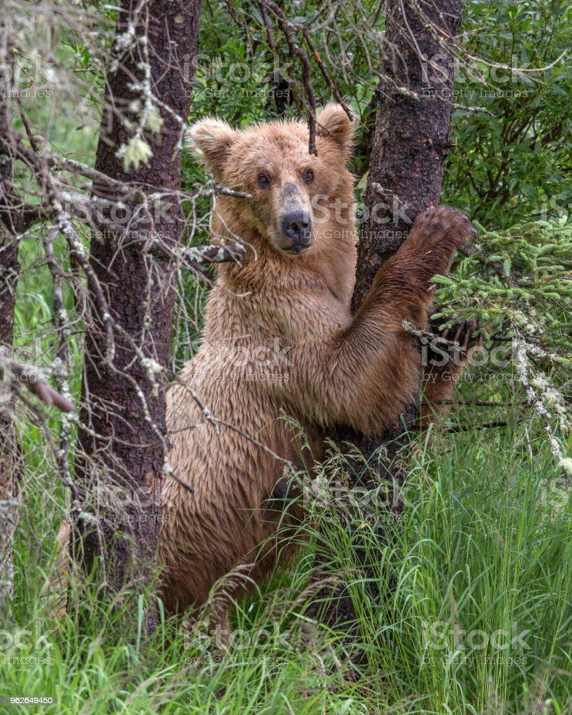 Brown oso  - foto de stock
