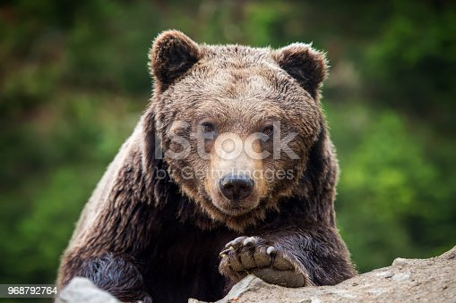 istock Brown bear (Ursus arctos) portrait in forest 968792764