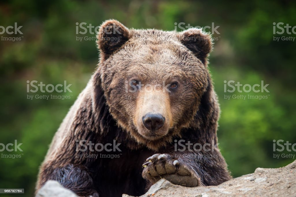 Brown bear (Ursus arctos) portrait in forest stock photo