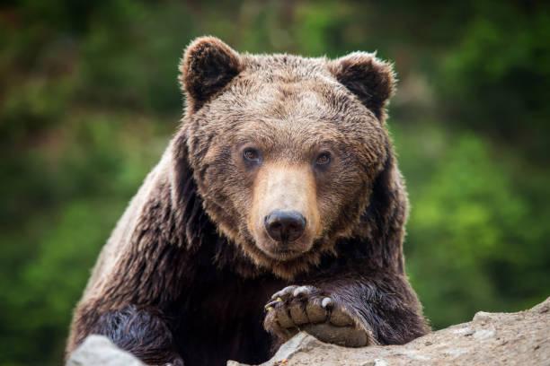Portrait de l'ours brun (Ursus arctos) dans la forêt - Photo