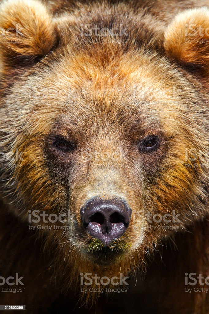 brown bear portrait looks in the camera stock photo
