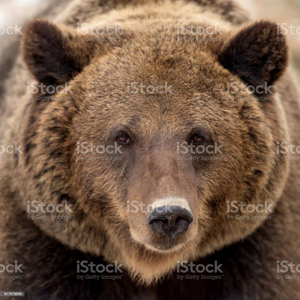 Brown bear portrait stock photo