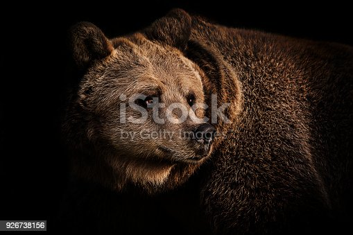 Portrait of brown bear standing in the shadow late afternoon.