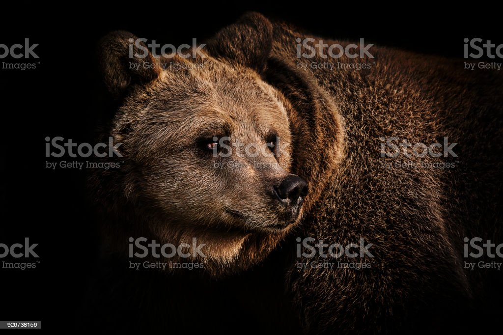 Brown bear portrait stock photo