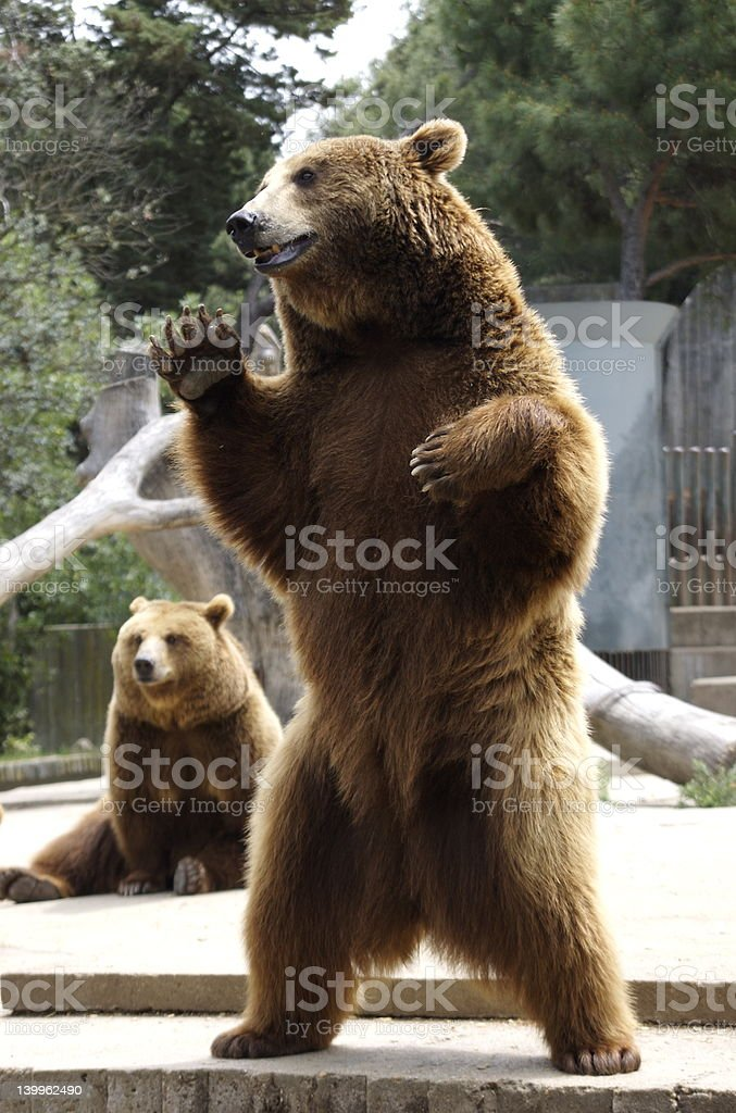 Brown Bear posing in Zoo stock photo