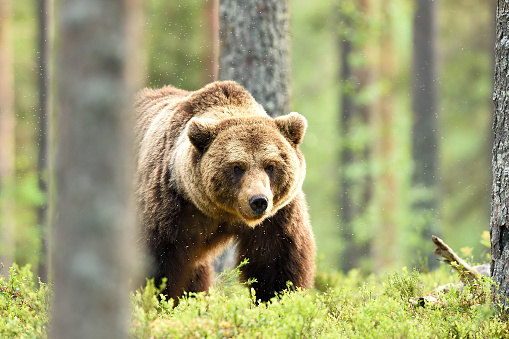 brown bear powerful pose in forest at summer