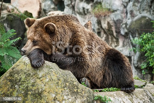 istock Brown bear resting with both paws on the log in Guatemala. 1028475140