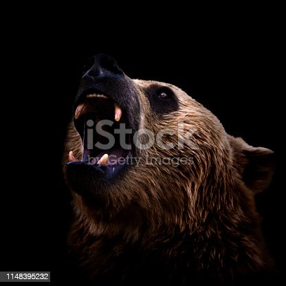 Brown bear roaring close-up on black background