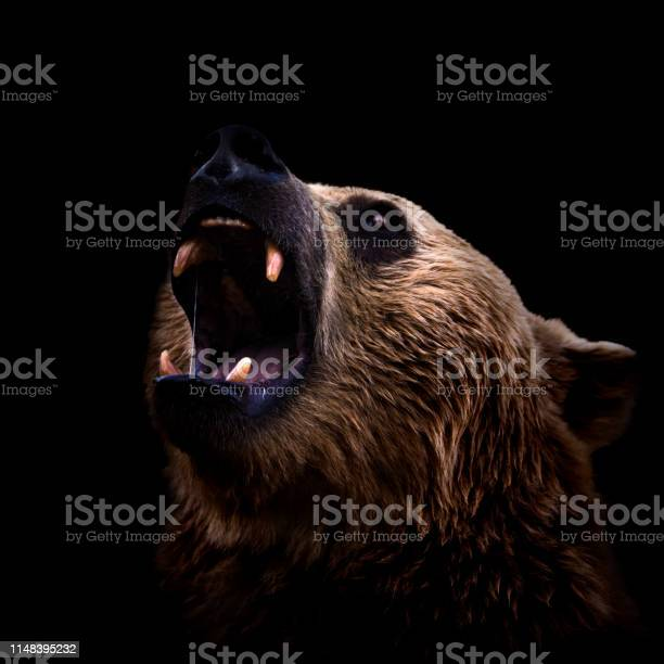 Brown bear roaring closeup on dark background picture id1148395232?b=1&k=6&m=1148395232&s=612x612&h=nqc k6defbpjrj8vdzao1hkm1opnlaekasg7tp3acou=