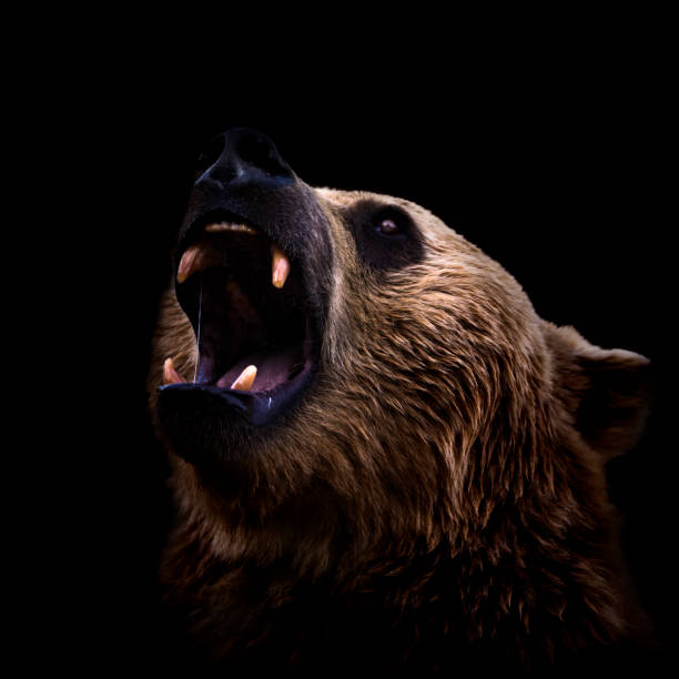 Brown bear roaring close-up on dark background Brown bear roaring close-up on black background animal mouth stock pictures, royalty-free photos & images