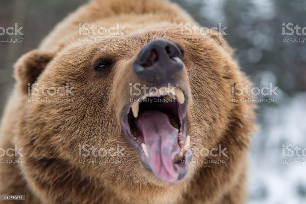 Urso pardo rugindo em floresta - foto de acervo