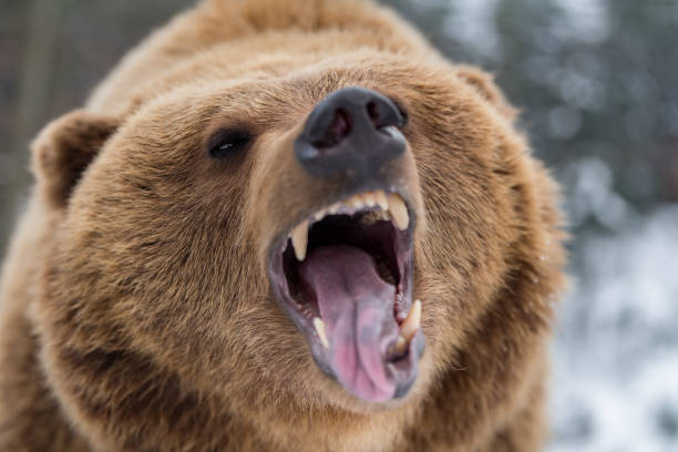 Brown bear roaring in forest stock photo