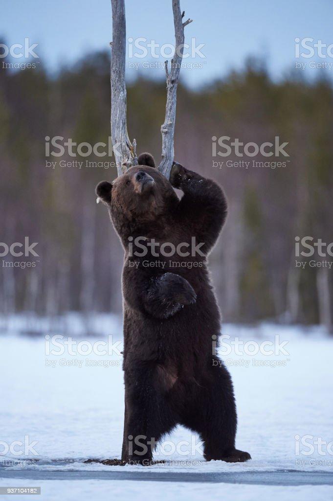 Urso pardo coçar - foto de acervo