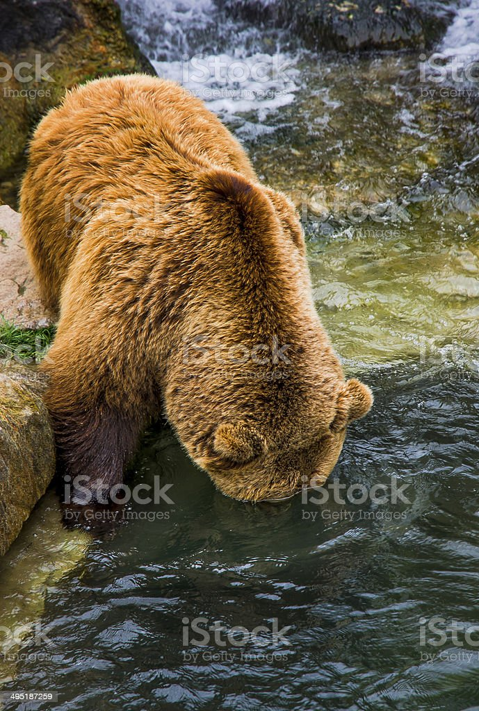 Brown bear seeking underwater stock photo