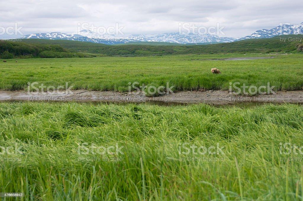 Brown Bear Sitting in Green Sedge Flats in Alaska stock photo