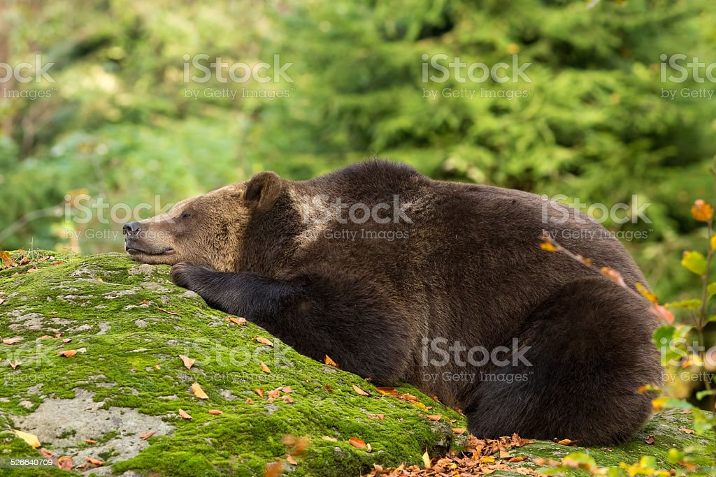 Brown Bear sleeping in the Bavarian forest on a rock. stock photo