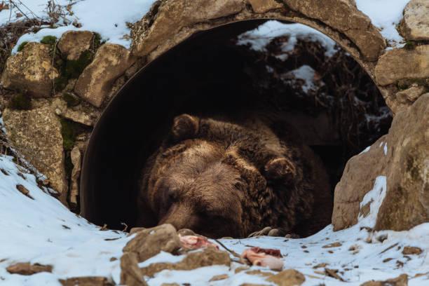 갈색 곰 동굴에서 자 고 - 속이 빈 뉴스 사진 이미지