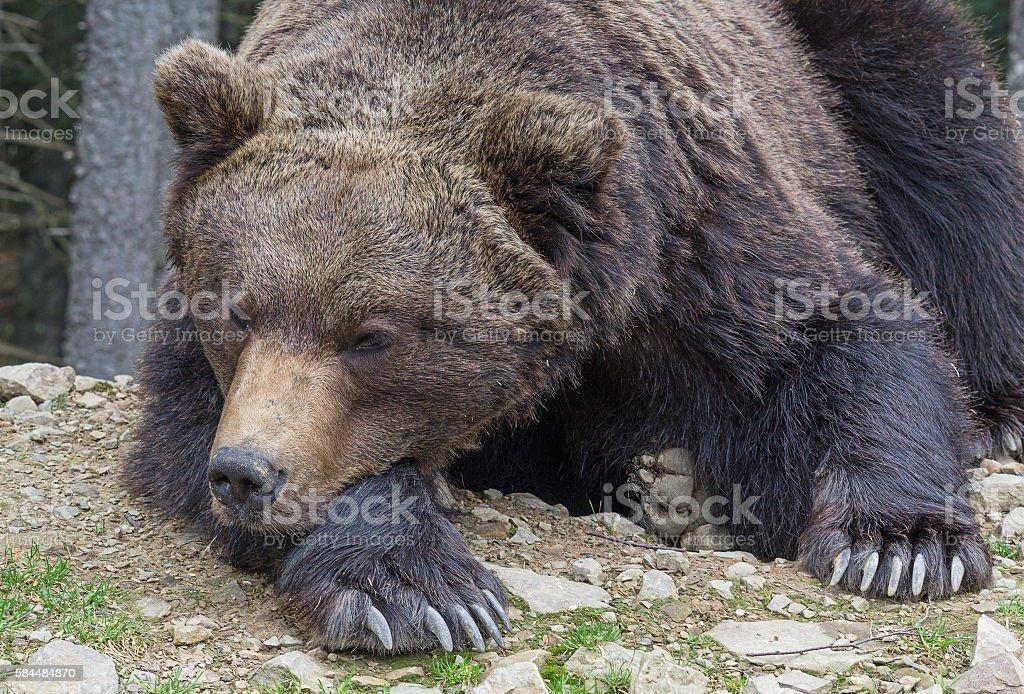 Brown bear sleeping on the ground close-up. Animals stock photo