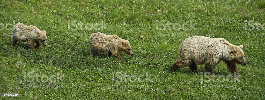 Brown Bear Sow Leading Two Cubs royalty-free stock photo