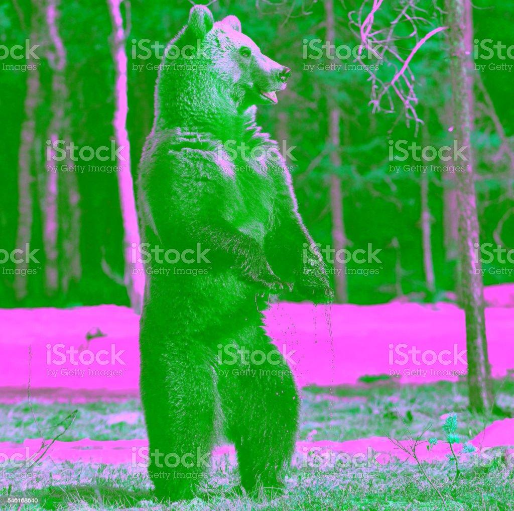 Urso pardo em pé em suas pernas traseiras - foto de acervo