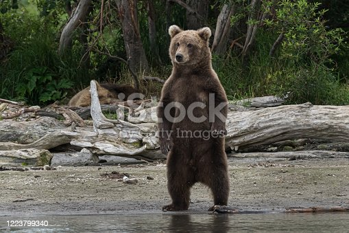 This image of a wild brown bear standing up and looking for a Salmon fishes in the river was taken in the far east of Kamchatka peninsula, Russia.