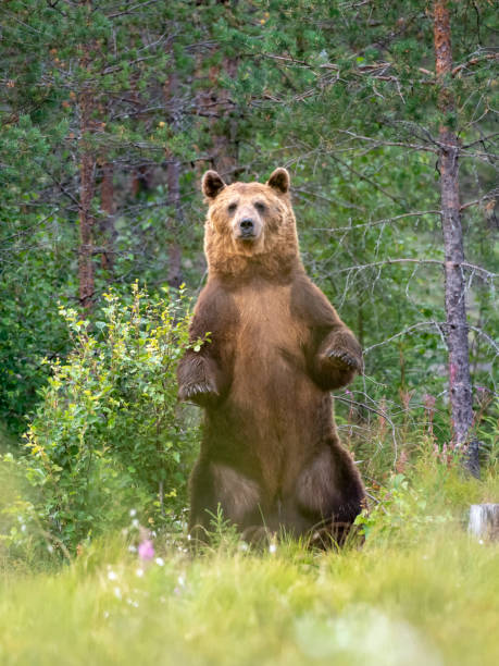 Brown Bear (Ursus arctos) standing up, Finland stock photo