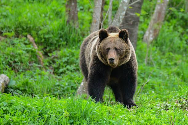 Brauner Bär / Ursus Arctos. Bieszczady-Gebirge. Polen – Foto