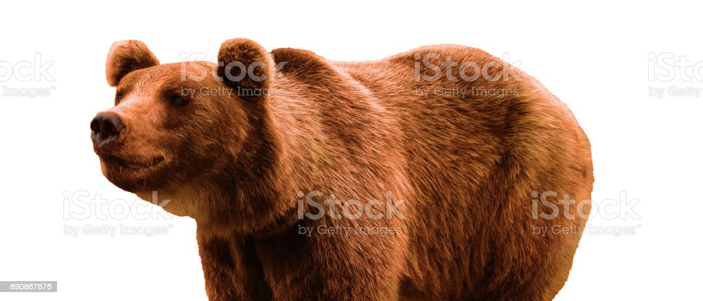 Brown bear - Ursus arctos isolated, white backdrop stock photo