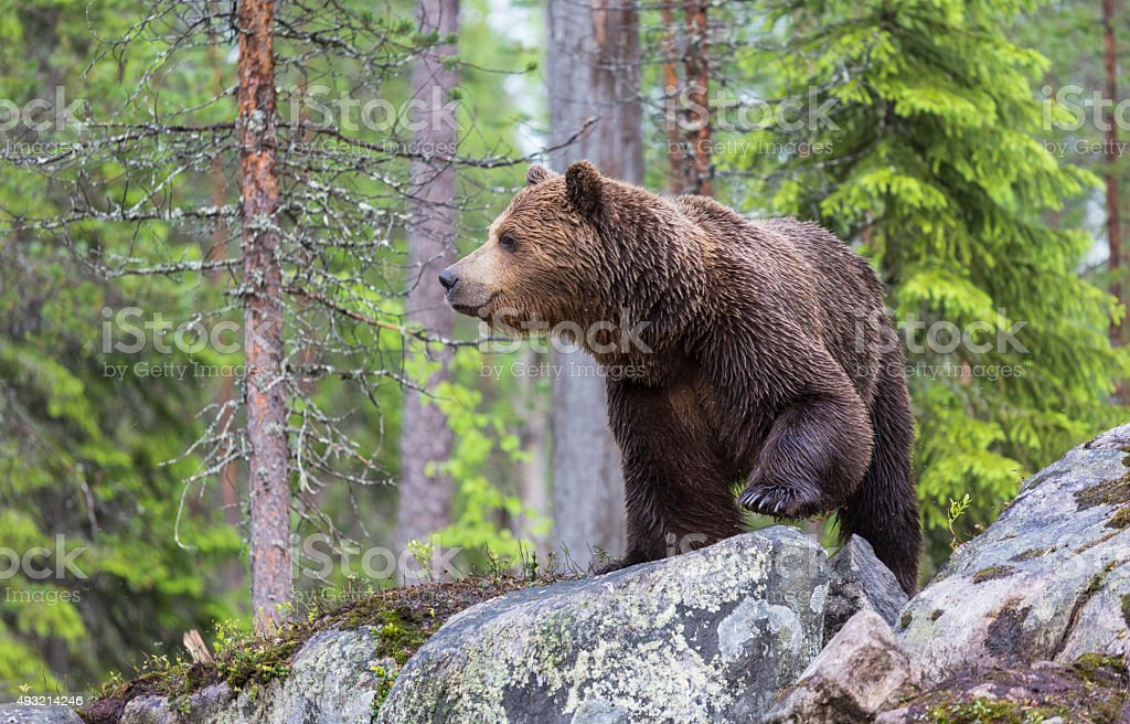 Orso bruno, Ursus arctos - foto stock