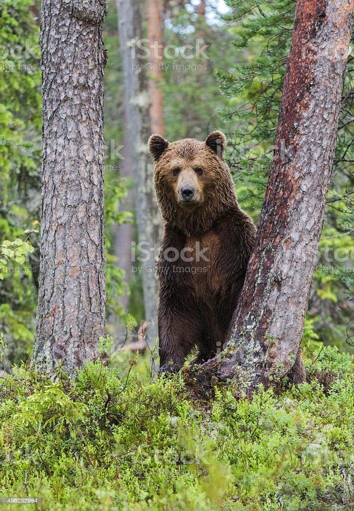 Brown bear, Ursus arctos stock photo