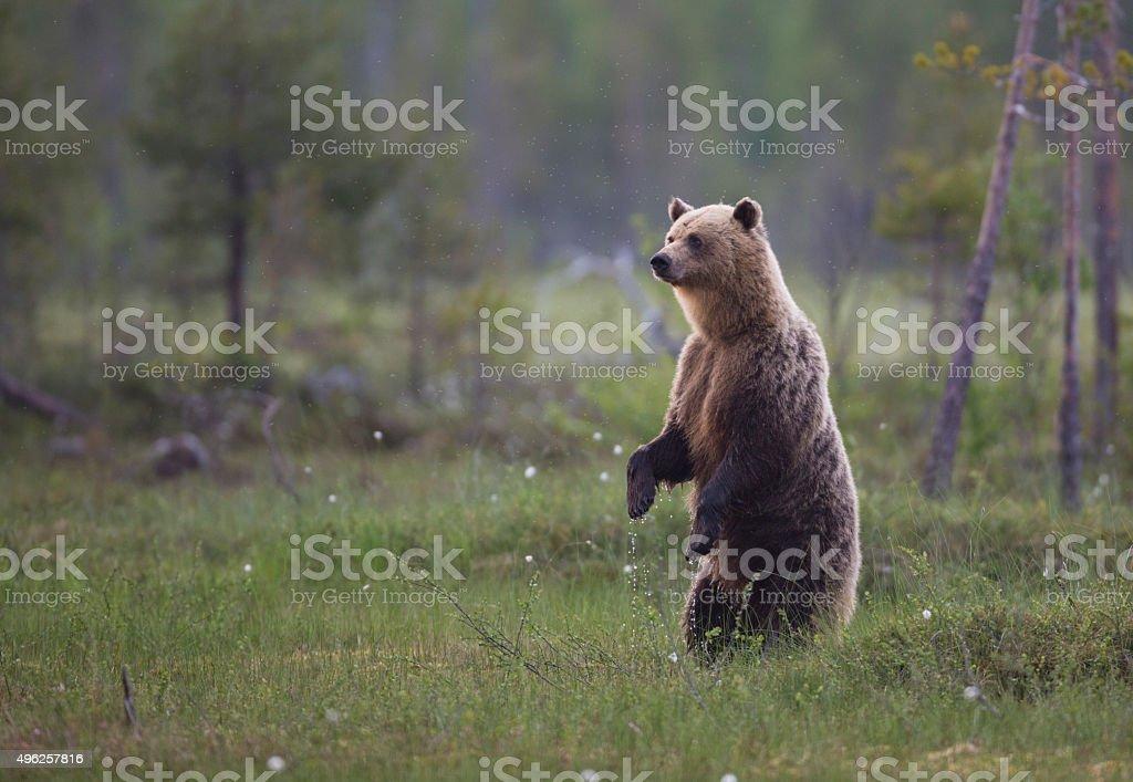 Urso pardo, Ursus arctos - foto de acervo