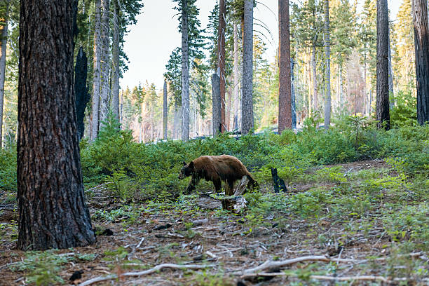 brown bear walk in sequoia national park, california, usa - bärenpark stock-fotos und bilder