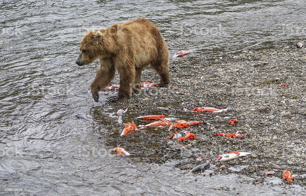 Brown Bear Walking by the Carcasses of Salmon royalty-free stock photo