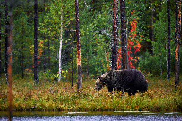 Brown bear walking in forest. Dangerous big bear in nature taiga and meadow habitat. Wildlife scene from Finland. stock photo