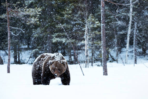 brown bear walking in the snow stock photo