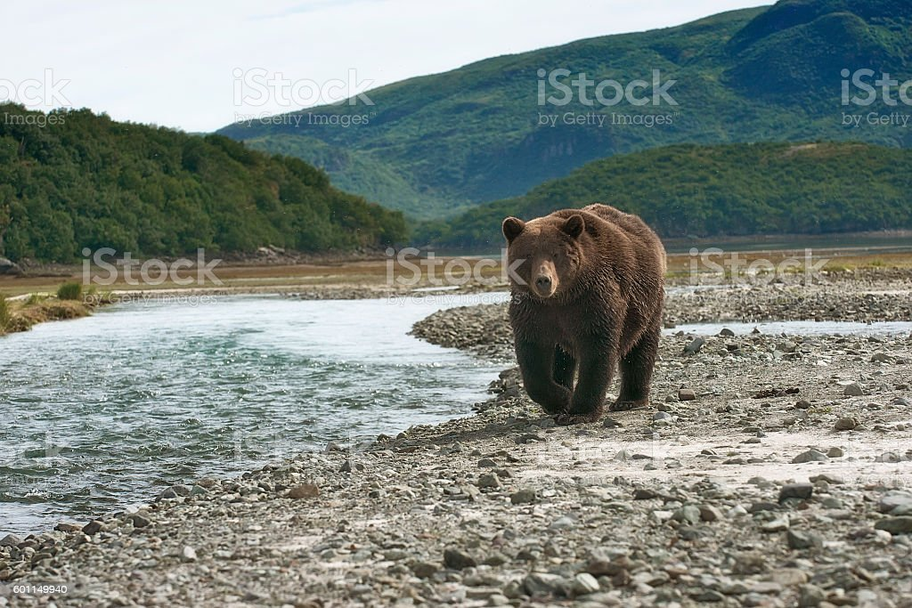 Brown bear walking near a salmon stream in Alaska – Foto