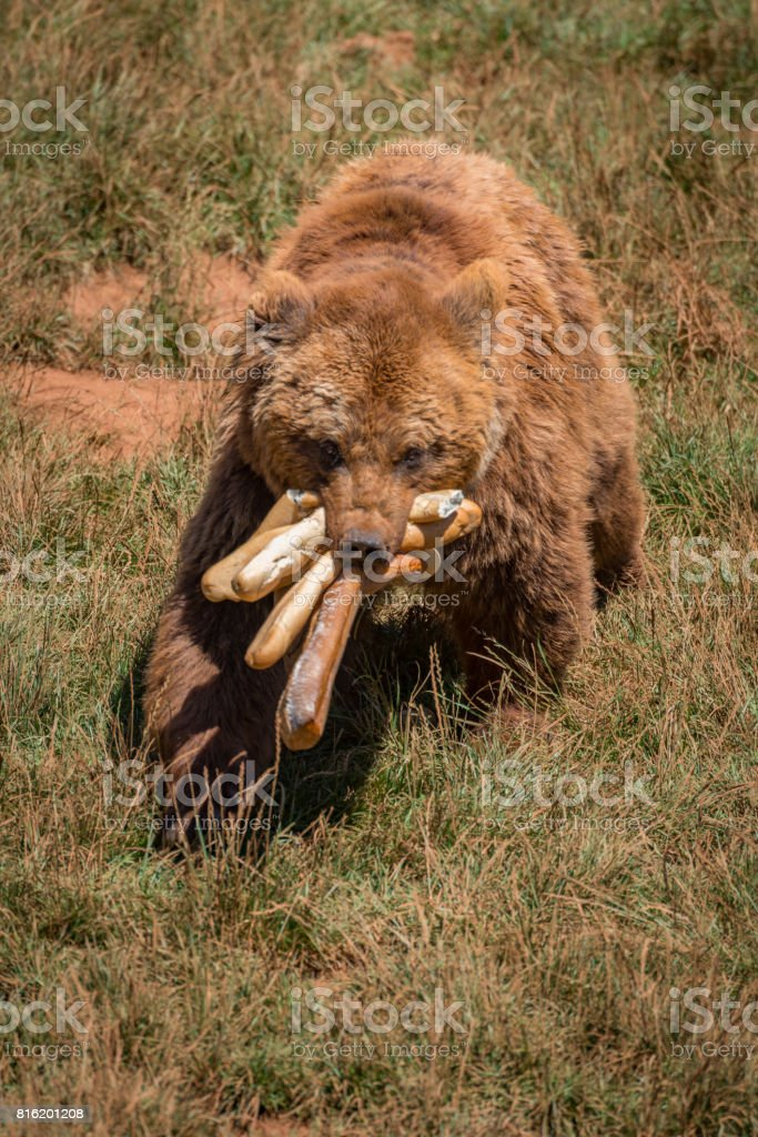 Brown bear walking with mouthful of baguettes stock photo
