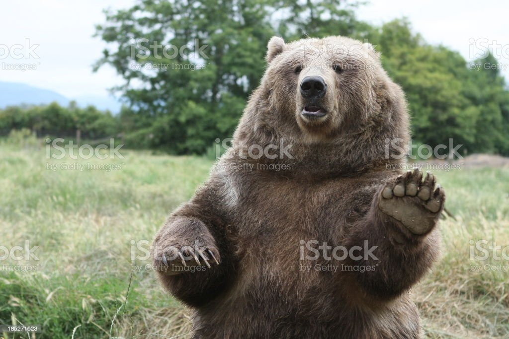 Brown Bear Waves Hello! stock photo