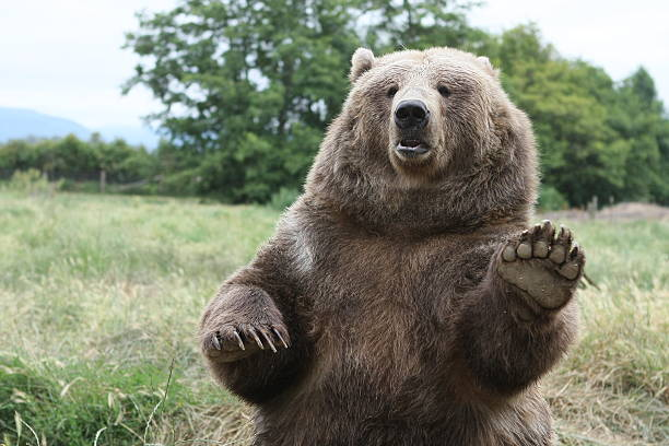 Brown Bear Waves Hello!​​​ foto