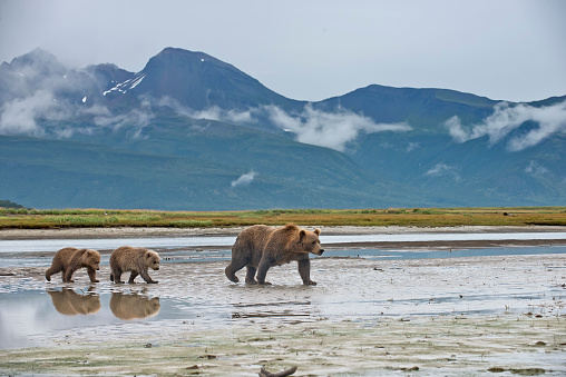A Brown Bear mother and cubs in Katmai National Park in Alaska.  The cub's reflection is seen in the river bank water.