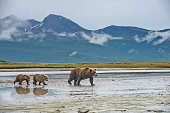 istock A Brown Bear with 2 spring cubs 1264350242