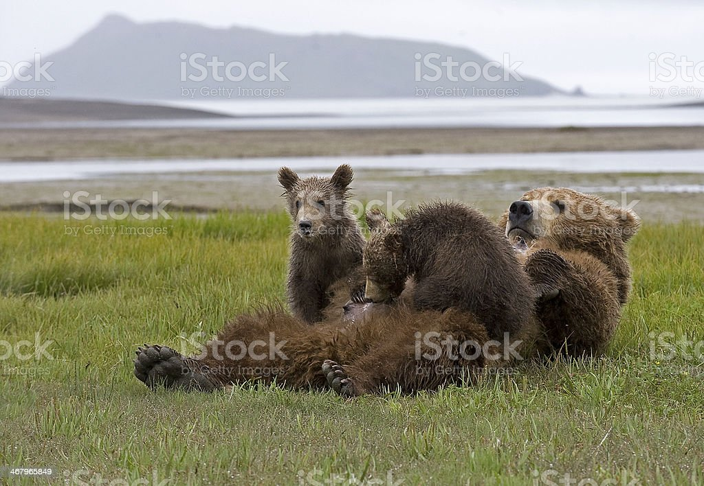 brown bear with cubs stock photo