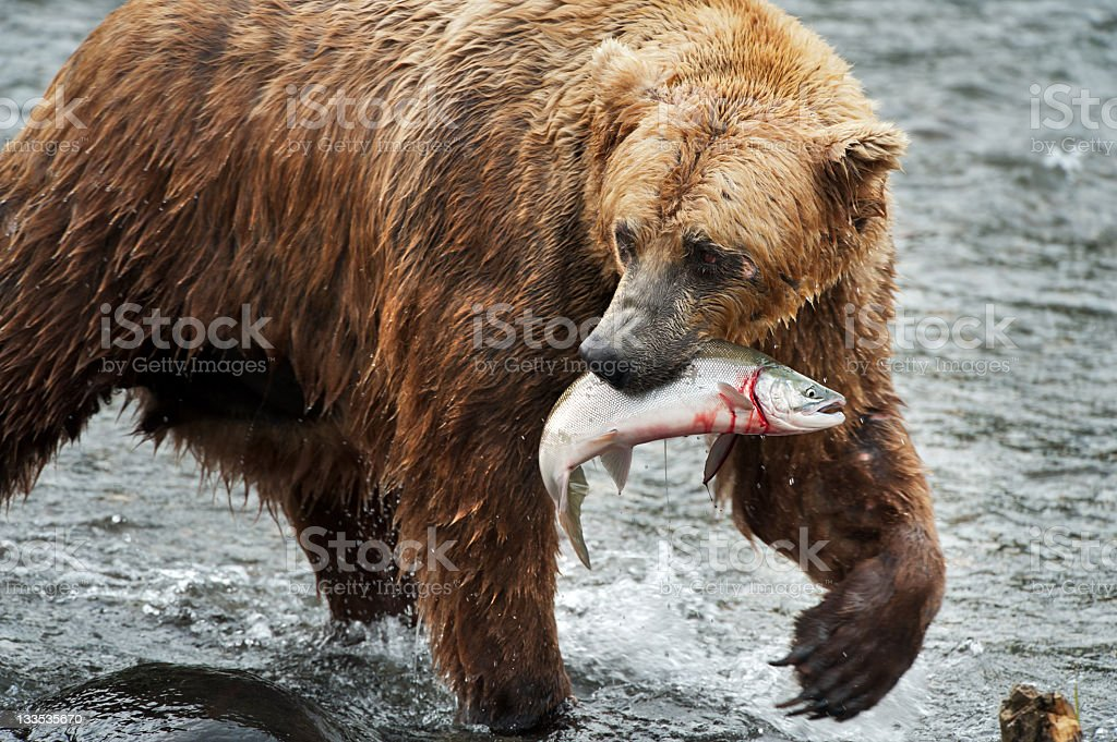 Brown bear with fresh salmon stock photo