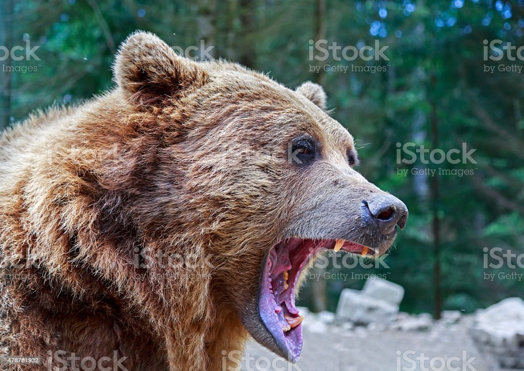 Brown bear with open mouth portrait stock photo