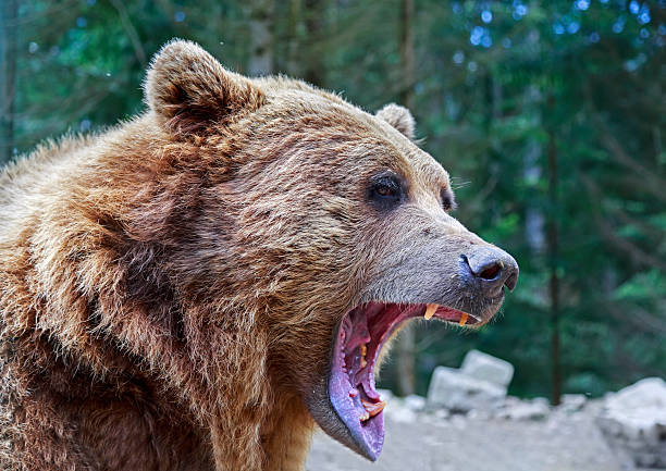 Brown bear with open mouth portrait Brown bear with open mouth portrait in Carpathian mountains, Ukraine animal mouth stock pictures, royalty-free photos & images