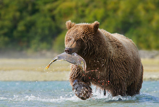 Brown Bear with Pink Salmon stock photo