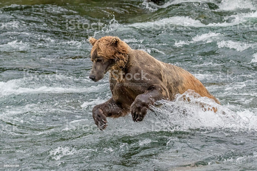 Brown Bear with Tracking Collar Hunting Fish in River royalty-free stock photo