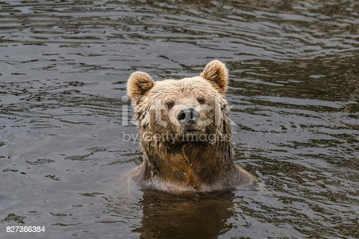 Brown bear with wet fur in a river with dark water looking curious
