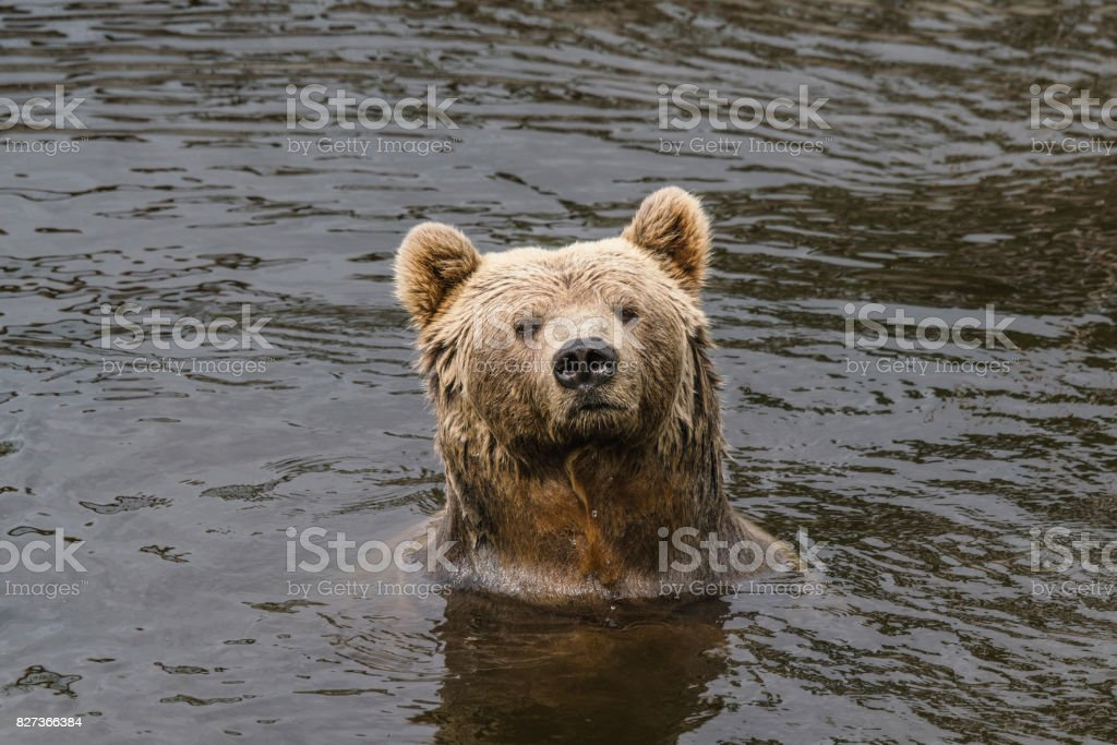 Brown bear with wet fur in a river stock photo